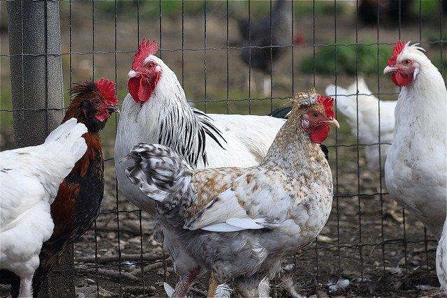 как выбрать породу кур