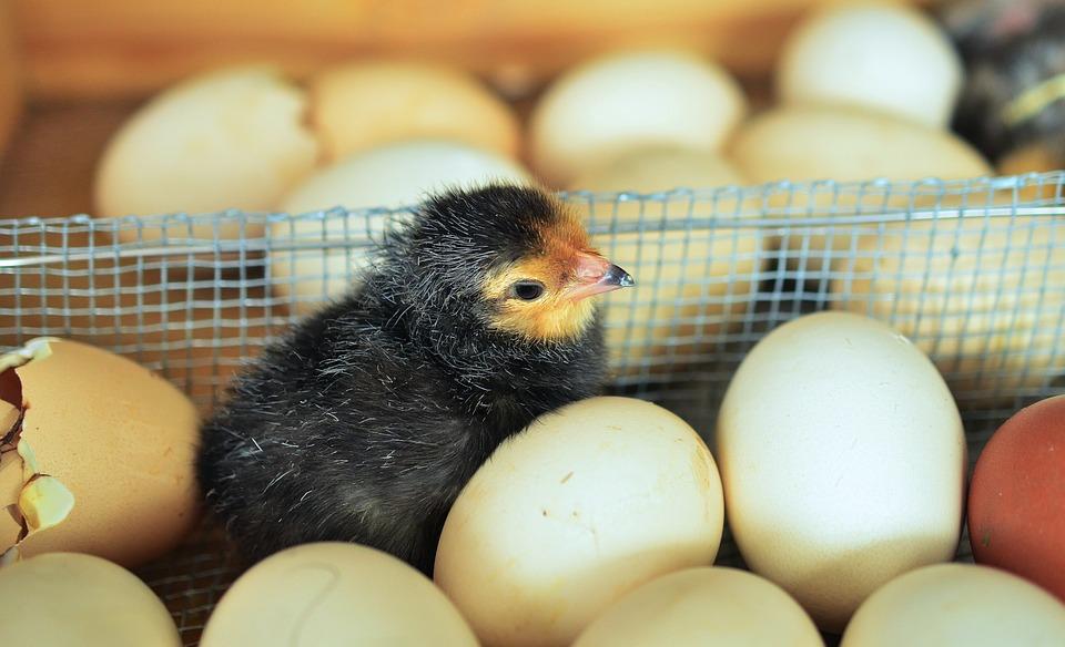 яйцо или цыпленок