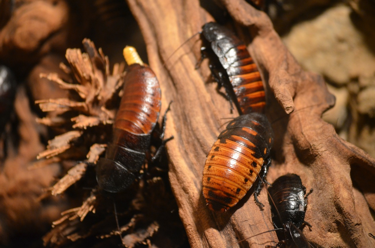 разведение тараканов