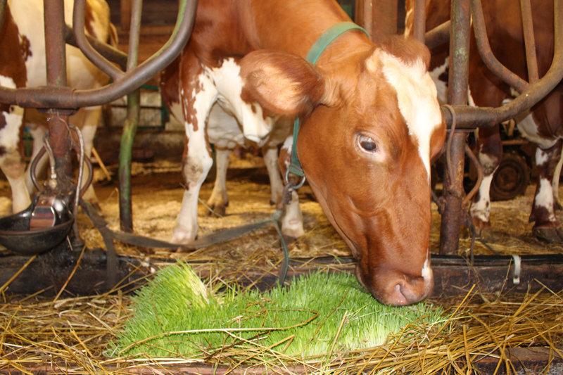 Получение зеленых кормов для коров