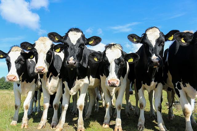 разведение молочного и мясного скота