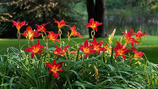 выращивание лилейника и фиалок