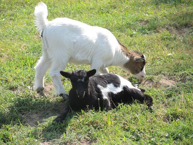 миниатюрные козы