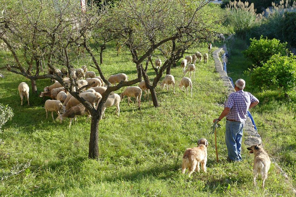 фермер пасет овец