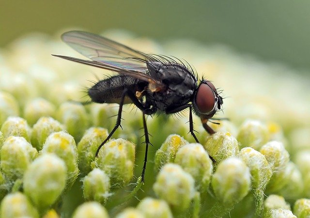 домашние мухи