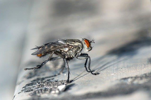 Уход за личинками комнатных мух