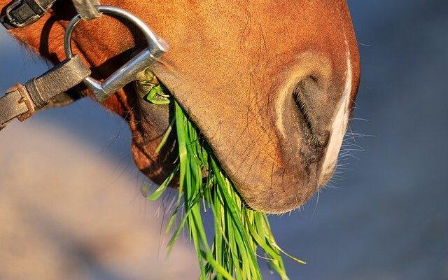кормление лошадей гидропонным кормом