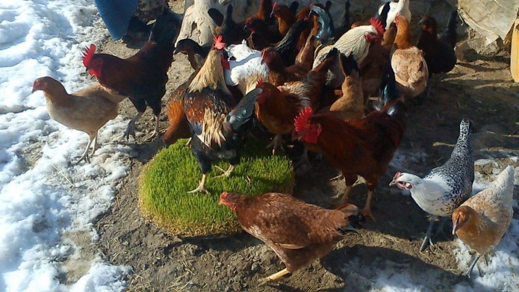 Гидропонный зеленый корм для кур