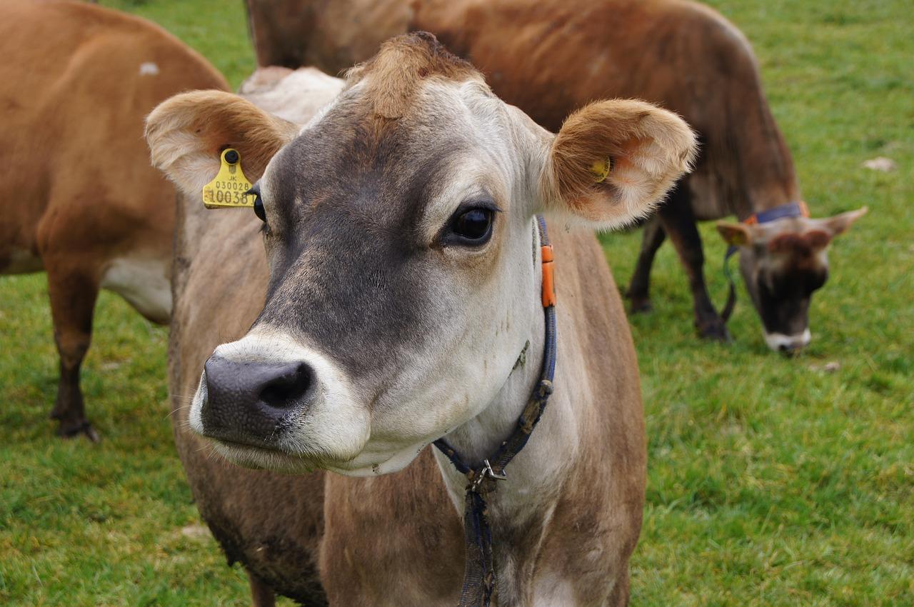 исследование молока коров джерси