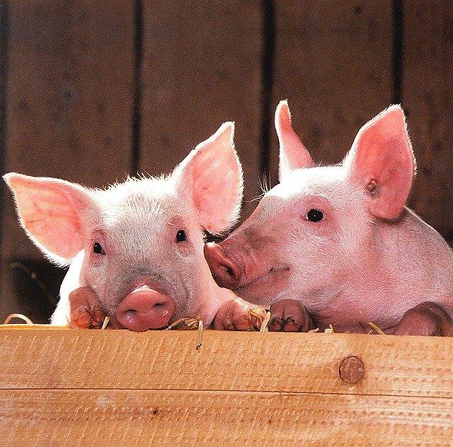 кормление свиней гидропонной зеленью