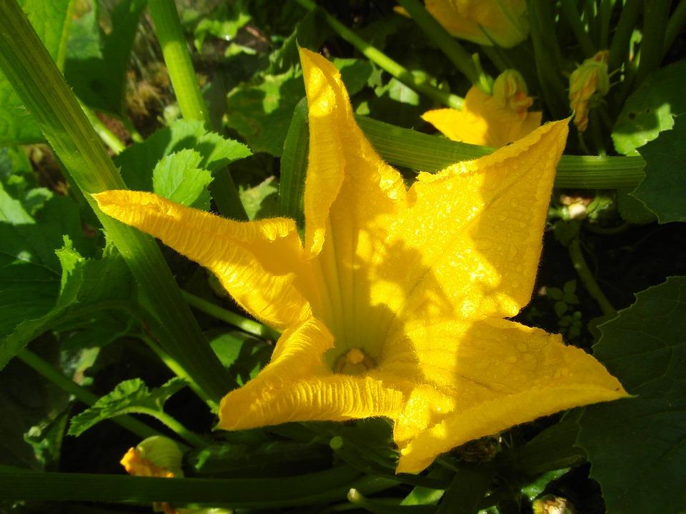 цветы цукини