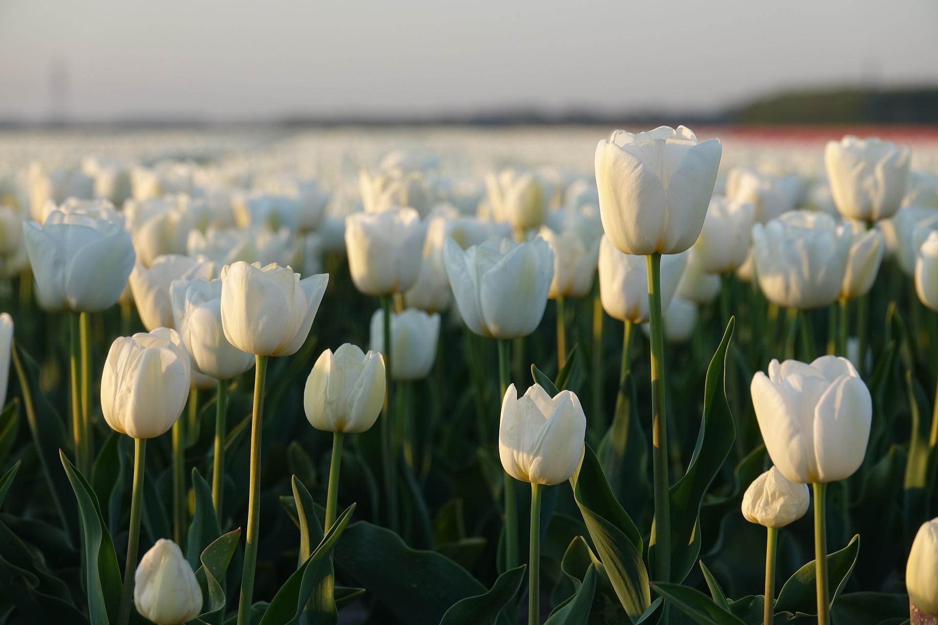 тюльпаны на гидропонике