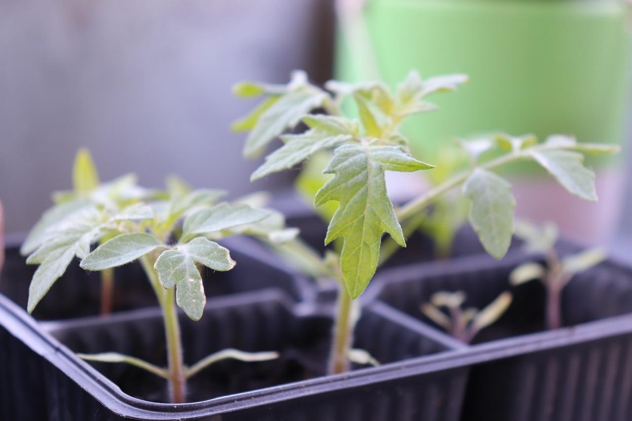 Молодая зелень рассады из семян
