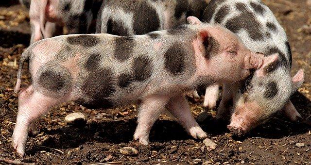 мини свиньи
